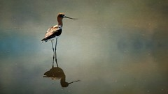 Lagoon Visitor (Christina's World aka Chrissie Bee) Tags: willet bird lagoon textures digitalart americanavocet avocet water scenic landscape painterly creative canvas minimalism