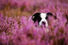 Bloom'in Elk (JJFET) Tags: 52 weeks for dogs 34 border collie dog sheepdog