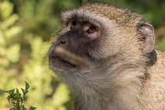 Vervet's Curiosity (donnatopham) Tags: botswana campxanakaxa vervetmonkeys