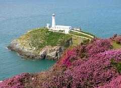 Heather Lighthouse! ('cosmicgirl1960' NEW CANON CAMERA) Tags: wales cymru ynysmonanglesey south stack landscape scenery yabbadabbadoo