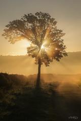 The Morning mist (deltic17) Tags: morningmist misty fog morning sunrise early dew foggy tree golden light shadow photography canon 5dmk3 raw sunbeam