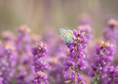 feeling blue? (Emma Varley) Tags: butterfly heather commonblue heath heathland rays folds wing bokeh soft colourful purple blue sullingtonwarren westsussex nature insect wild
