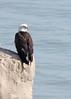 Bald Eagle (Bruce Bolin) Tags: deformed beak