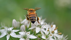 a pretty Italian bee (conall..) Tags: bergamo lombardy italy orto botanico di lorenzorota ortobotanicodibergamo allium flower honeybee honey bee apis mellifera pollination apismellifera raynox dcr250 macro closeup pollen loads