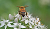 a pretty Italian bee {explored} (conall..) Tags: bergamo lombardy italy orto botanico di lorenzorota ortobotanicodibergamo allium flower honeybee honey bee apis mellifera pollination apismellifera raynox dcr250 macro closeup pollen loads
