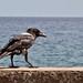 Pied Crow 1