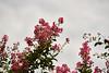 _DSC8135 (vhbin) Tags: 담양군 전라남도 대한민국 a99ii a99m2 명옥헌 담양출사지 담양 배롱나무 백일홍 꽃사진 연꽃 해바라기