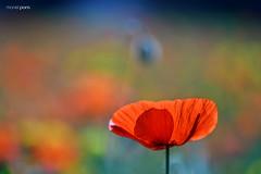 ...fora de temporada (manel pons) Tags: manelpons deltadelebre santcarlesdelarapita rosella amapola poppy