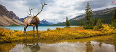 Canadian Rockies, Canada (Travel Center UK) Tags: antlered deer rocky mountains canada golden autumn seasons antlereddeer rockymountains goldenautumn wildlife nature naturephotography naturelandscape travelcenteruk travelcenter travelphotography travelling travel trees flowers cliff reflection river water clear