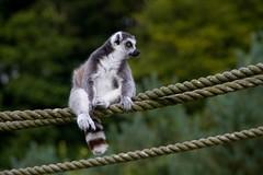 A Lemur (Mark Curnow Photography) Tags: fauna lemur blackandwhite stare stripey outdoors outdoorphotography canon eod 7d longleatsafaripark longleat zoo captive summer season tourism attraction wiltshire selectivefocus