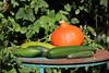 CKuchem-5680 (christine_kuchem) Tags: basilikum bauerngarten biogarten bioqualität ernte erntezeit fleischtomate garten gemüse gemüsegarten grün gurke hokaido kräuter kürbis nutzgarten paprika peperoni pflanze rarität sommer sorte sorten sortenvielfalt tomate vielfalt zucchini bio biologisch frisch gelb gesund lecker natürlich orange reif rot selten unbehandelt