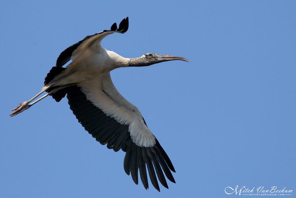 Prehi-Stork-ish (Wood Stork)