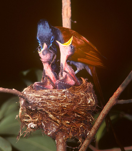 Paradise Flycatcher male feeding nestlings , 0590