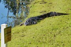 Caution! (Jim Atkins Sr) Tags: alligator alligatormississippiensis reptile fairfieldharbour northcarolina sony sonya58 sonyphotographing americanaligator