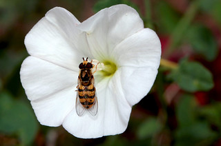 Eupeodes (Metasyrphus) latifasciatus ♂ on Petunia hybrida
