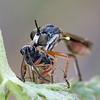 Petokärpänen - Dioctria hyalipennis - Robber fly (Henri Koskinen) Tags: asilidae kärpänen petokärpänen ahmaspistiäinen pistiäinen saali virtasalmi 03092017 finland robber fly dioctria hyalipennis