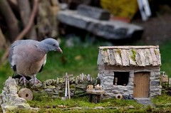 juv pigeon on stone wall model village cottage pigion.zilla (1) (Simon Dell Photography) Tags: pigeon garden old english country sheffield uk yorkshire stone wall giant pigeonzilla zilla monster model village micro bird table simon dell photography 2017 autumn image seasonal season massive large big wildlife