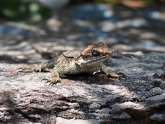OLYMPUS DIGITAL CAMERA (tristigramine) Tags: india forest lizard littledragon stone himalayas ящерица гималаи рептилия чешуя