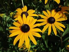『 Tout flanqué 』 (Éric…Mon chemin ⊰♥) Tags: flower fleurs petal jaune yellow canon nature canonixius summer juillet july 2017 photography light travel flores fiori blümen