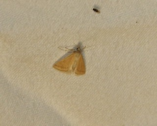 4796 Microtheoris ophionalis, Yellow-veined Moth