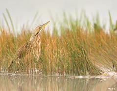 ''Camouflage!'' Butor d'Amérique-Botaurus lentiginosus (pascaleforest) Tags: oiseau bird passion nature matin brume mist nikon animal kayak moorning wild widllife faune camouflage eau water