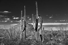 Hills, Blues Skies and Clouds for a Backdrop of Saguaro Cactus (Black & White, Saguaro National Park) (thor_mark ) Tags: arborescenttreelikecactus blackwhite blueskieswithclouds cactus cactusacrossdesertlandscape cactusflowers canvas capturenx2edited carnegieagigantea colorefexpro day3 desert desertlandscape desertplantlife engelmanspricklypearcactus hikealongvalleyviewoverlooktrail hillpeak intermountainwest landscape lookingsw mountains mountainsindistance mountainsoffindistance nature nikond800e northsonorandesertranges opuntiaengelmannii outside portfolio project365 saguaro saguarocactus saguaronationalpark saguaronationalparktucsonmountaindistrictwest silverefexpro2 sonorandesert southwestbasinsandranges sunny topofsaguarocactus tucsonmountains westtucsonnogalesarea arizona unitedstates