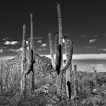Hills, Blues Skies and Clouds for a Backdrop of Saguaro Cactus (Black & White, Saguaro National Park) thumbnail