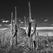Hills, Blues Skies and Clouds for a Backdrop of Saguaro Cactus (Black & White, Saguaro National Park)