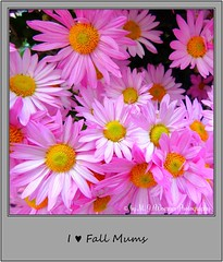 Chrysanthemum 04 (M.J.Woerner) Tags: november fallmums asteraceae chrysanths autumcolors postermums chrysanthemum autumflower