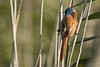 Bearded Tit (Steve Nelmes Photography) Tags: avian beardedtit birds cameragear canon canon14xteleconverter canon1dxmark2 canon2xteleconverter canon300mm28lmkii feathered handheld location nature naturereserve perched september somerset stevenelmesphotography summer unitedkingdom wild wildbird wildlife animal uk
