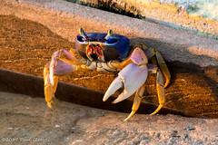 You Don't Scare Me (Glotzsee) Tags: nature florida indianrivercounty indianriverlagoon verobeach outdoors outside crab bluelandcrab landcrab irma hurricaneirma indianriver marinelife colorful glotzsee glotzseefloridaimages