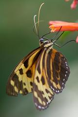 DSC04105 (denn22) Tags: butterfly schmetterling papillon september 2017 denn22 ilce7rm2 a7rm2 70200mmf28gmoss