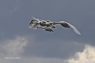 Näher geht nicht - Höckerschwäne - Mute Swans
