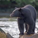 black bear British Columbia thumbnail