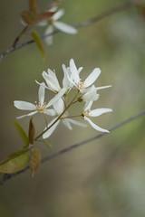Blossoms (thebushdoctor) Tags: blossom yashinon 50mm olympus e420