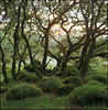 oaks (steve-jack) Tags: hasselblad 501cm 80mm cb kodak ektar film medium format 6x6 120 bellinifoto monopart c41 kit epson v500 woods wales pembrokeshire moss