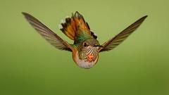 Rufous Hummingbird (Eric Gofreed) Tags: arizona hummingbird mybackyard rufoushummingbird sedona villageofoakcreek