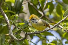 Bar-throated minla (Hiro Takenouchi) Tags: bird passerine india arunachal wildlife wild eaglenest nocrop