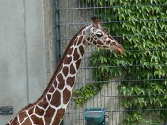 Netzgiraffe (Chriest) Tags: allwetterzoomünster netzgiraffe giraffacamelopardalisreticulata