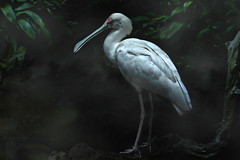 Spoonbill (Christina's World-) Tags: bird blackbackground largebird artistic california creative dramatic dark dusk exotic leaves landscape nature naturepreserve outdoors plants sandiego scenic textures usa vegetation exoticbird exoticimage zoo ngc coth5 npc