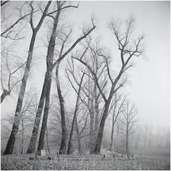 Frost and Mist / Szadź i Mgła (Piotr Skiba) Tags: siemianowice śląskie poland pl piotrskiba trees mist frost road start66 6x6 tlr fujiacros100 acros morning field monochrome blackwhite rzęsa bw