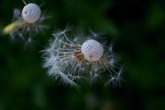 Dentes-de-leão (Judit T) Tags: dandelion seeds nature garden natural outdoor brasil brazil
