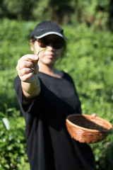 Hand Picking (Obubu Tea Farms) Tags: handpicking tea fields