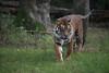_FT01393.jpg (danse2f) Tags: tigreblanc d750 nikon septembre zoodecerza cerza 7020028vr2 zoo photoaccess tigredesumatra 2017 albumdédié
