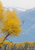 First SIgns of Fall (Henry T. Cadwalader) Tags: birds hawk raptor photography wildlifephotography nationalpark jacksonhole wyoming fall willows snow