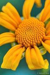 (davidboubouille) Tags: departementsdoutremer fleur france lareunion macrophotographie jaune