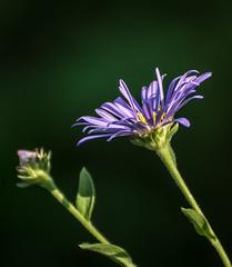 Nature Working. (Omygodtom) Tags: sunlight sunshine green purple flower flickr garden park senery scene scenery macro bokeh stem nikkor natural nikon dof d7100 digital nikon70300mmvrlens contrast colorful