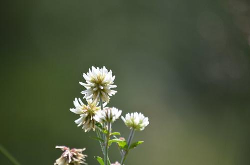 [Fabaceae] Trifolium montanum (Bergklee)