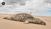 Flat out (alundisleyimages@gmail.com) Tags: greyseal wildanimal nature newbrighton wirral newbrightonlighthouse beach sky weather portsandharbours sand clouds