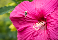 Golden Bumble (hmthelords) Tags: bumble bee nature outdoors flower summer pollen golden fairyworld childlikeeyes wonder smallerworlds hibiscus upstateny nikon poetry activeassignmentweekly bestofweek1